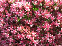 Het bloeien prominente Sedum, of muurpeper (sedum) Stock Foto's