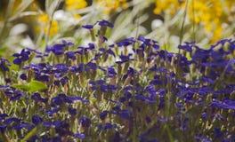 Het bloeien purpere aubrieta en onduidelijk beeld gele alyssum in backlight royalty-vrije stock afbeeldingen