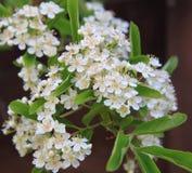 Het bloeien Pyracantha royalty-vrije stock foto's