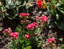 Het bloeien Rose In een Park stock afbeeldingen