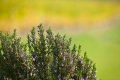 Het bloeien Rosemary Stock Fotografie