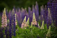 Het bloeien roze en purpere lupines in natuurlijke habitat Stock Fotografie