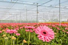 Het bloeien roze gerberas in een Nederlandse serre Stock Foto