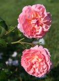 Het bloeien roze nam Engels in de tuin op een zonnige dag toe Rose Strawberry Hill Royalty-vrije Stock Foto's