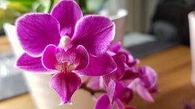 Het bloeien roze Orchidee stock afbeeldingen