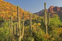 Het bloeien Saguaros. Royalty-vrije Stock Afbeelding