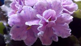 Het bloeien Saintpaulias, die algemeen als Afrikaans viooltje wordt bekend Mini Potted Plant royalty-vrije stock afbeelding