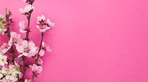 Het bloeien sakura, de lentebloemen op roze achtergrond Royalty-vrije Stock Foto's