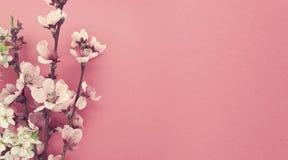 Het bloeien sakura, de lentebloemen op roze achtergrond met exemplaarkuuroord Royalty-vrije Stock Foto's