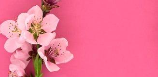 Het bloeien sakura, de lentebloemen op roze achtergrond met ruimte Stock Foto