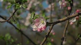 Het bloeien sakura in de tuin stock video