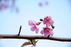 Het bloeien sakura in tuin Royalty-vrije Stock Foto's