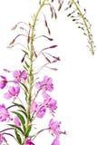 Het bloeien Sally (angustifolium Epilobium); Stock Afbeeldingen
