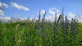 Het bloeien Salvia Superba dicht omhoog op een wilde weide stock video