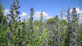 Het bloeien Salvia Superba dicht omhoog op een wilde weide stock footage