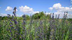 Het bloeien Salvia Superba op rand van het dorp stock videobeelden