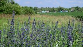 Het bloeien Salvia Superba op rand van het dorp stock video