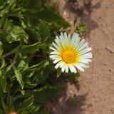 Het bloeien schultzii Asteriscus stock afbeeldingen