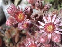 Het bloeien Sempervivum, Kippen en Kuikens Royalty-vrije Stock Foto's