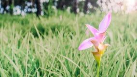 Het bloeien Siam Tulip Stock Foto's