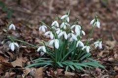 Het bloeien sneeuwklokjes in nivalis van de lente bosgalanthus royalty-vrije stock afbeeldingen