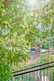 Het bloeien sprinkhaan over de rivier, close-up Royalty-vrije Stock Afbeelding