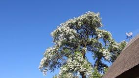 Het bloeien het Tot bloei komen van Peer stock videobeelden