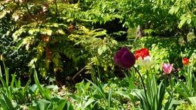 Het bloeien tulpes in de lente royalty-vrije stock afbeeldingen