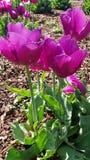 Het bloeien tulpes in de lente royalty-vrije stock afbeelding