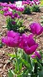 Het bloeien tulpes in de lente royalty-vrije stock fotografie