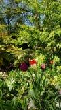 Het bloeien tulpes in de lente stock fotografie