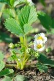 Het bloeien van aardbeienstruik Stock Foto