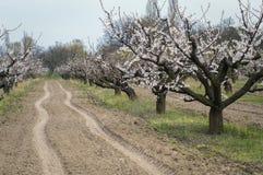 Het bloeien van abrikoos in de tuin in de lente, volgt en vindt prote Royalty-vrije Stock Foto
