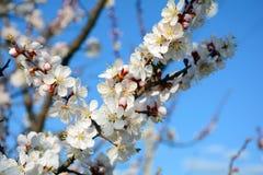 Het bloeien van abrikozenboom Royalty-vrije Stock Afbeeldingen