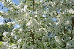 Het bloeien van appelbomen Stock Afbeeldingen