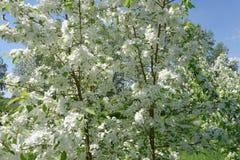 Het bloeien van appelbomen Stock Foto's