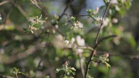 Het bloeien van appelbomen in Mei stock videobeelden