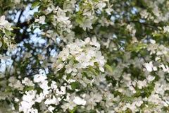 Het bloeien van appelboomgaarden Royalty-vrije Stock Foto's