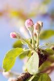 Het bloeien van Apple-bomen, de eerste bloemen op fruitbomen stock foto's