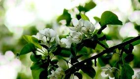 Het bloeien van Apple-bomen in een tuin Stock Foto's