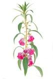 Het bloeien van balsamina Impatiens royalty-vrije stock foto