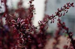 Het bloeien van berberis Stock Foto