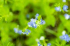 Het bloeien van blauwe bosbloemen op een groene achtergrond van bladeren, het beeld is uit nadruk stock afbeelding