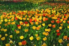 Het bloeien van bloemen Royalty-vrije Stock Afbeelding