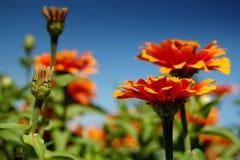 Het bloeien van bloemen Stock Afbeeldingen
