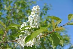 Het bloeien van bloemen van wilde kers komt tegen een heldere blauwe zonnige de lentehemel tot bloei Royalty-vrije Stock Fotografie