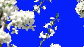 Het bloeien van bomen stock videobeelden