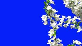 Het bloeien van bomen stock footage