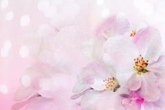 Het bloeien van de appelboom De lenteachtergrond van bloeiende bloemen Witte en roze bloemen Mooie aardscène met a stock fotografie