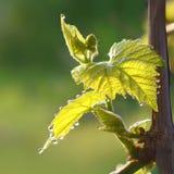Het bloeien van de druif in de lente Jonge bladeren van druiven met dalingen van dauw stock fotografie